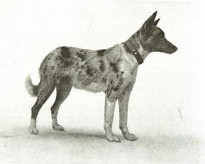 GermanCollie